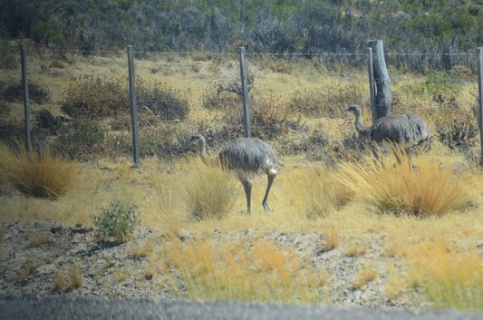 two Rheas running in Peninsula Valdes