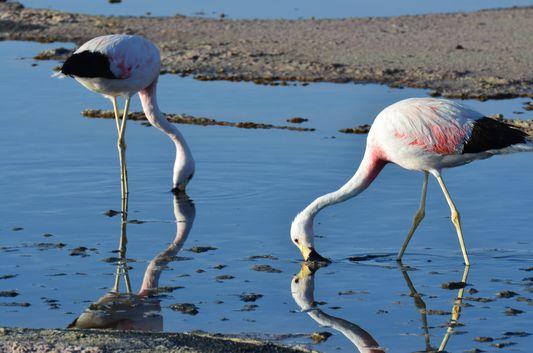 Andean flamingos at Chaxa lagoon