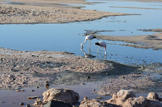 Andean flamingos eating in Laguna Chaxa