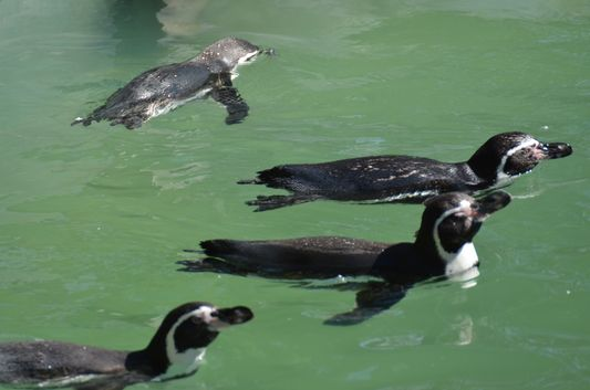 Humboldt penguins in National ZOO  in Santiago