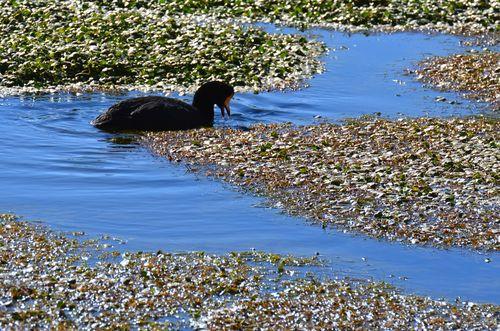 a black duck in Putana river