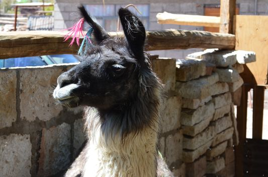 a domesticated llama in Toconao