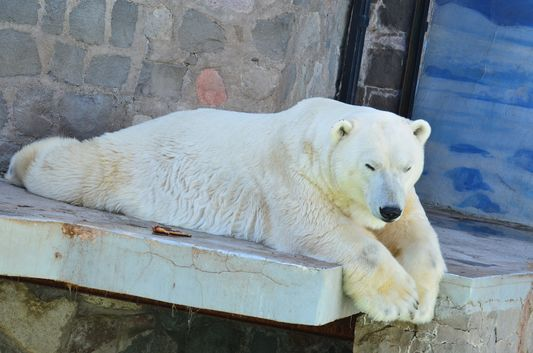 a polar bear in National ZOO in Santiago de Chile