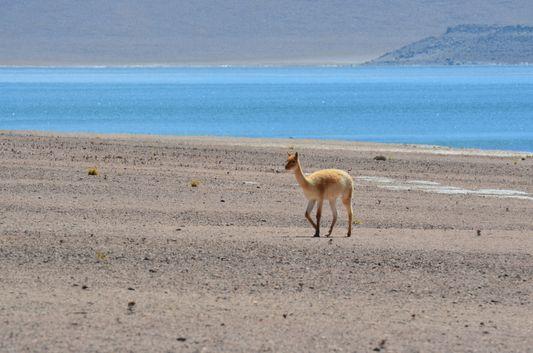a vicuña at Miscanti lagoon