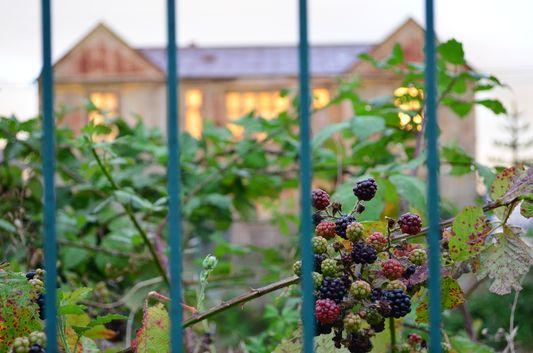 fresh blackberries in Puerto Varas
