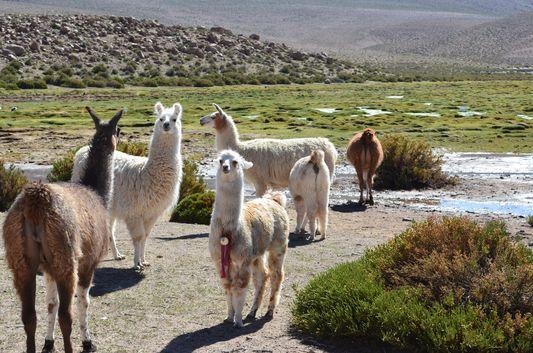llamas in the Andes on the way back to San Pedro de Atacama