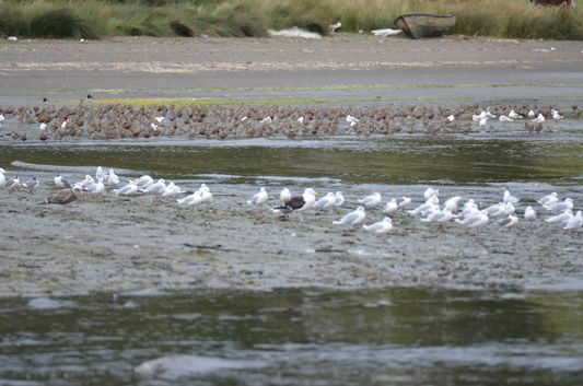 sea gulls on Chullec beach