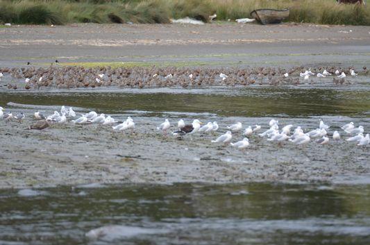 sea gulls on Chullec beach