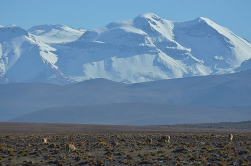 vicuñas in the Andes on the way back from The Tatio