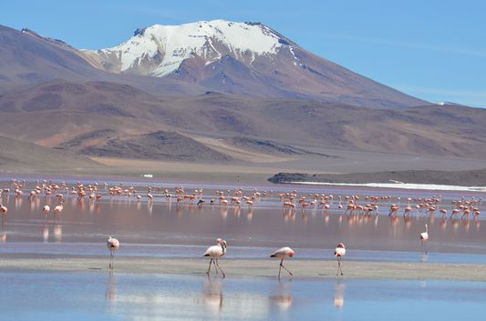 Laguna Colorada with flamingos and snow-capped Andes