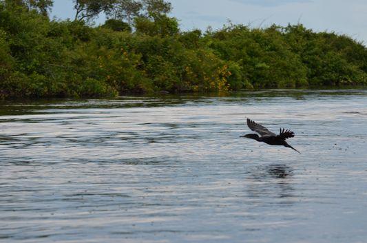 a black cormorant flying