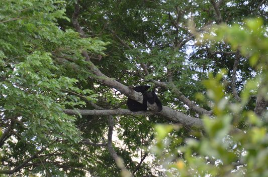 a black male howler monkey