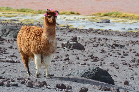 a cute llama at Laguna Colorada