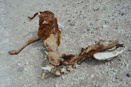 a dead animal at Kqara lagoon