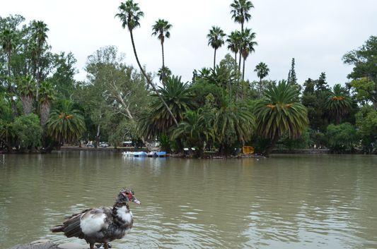 a duck in San Martin park in Salta in Argentina