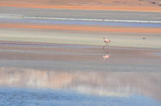 a flamingo walking through Laguna Colorada