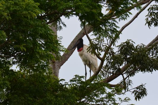 a jabiru bird