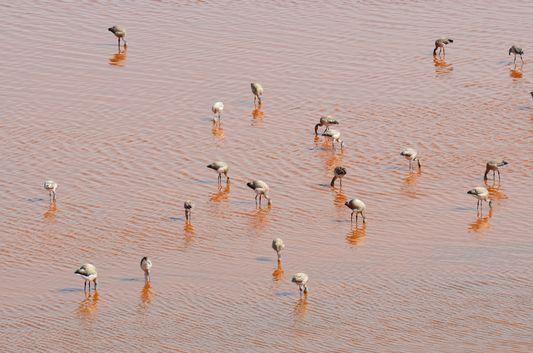 baby flamingos at Laguna Colorada