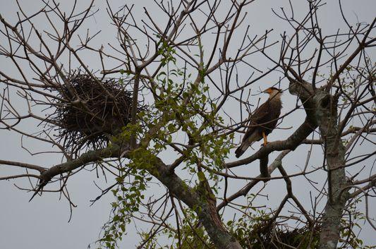 caracara bird with its nest