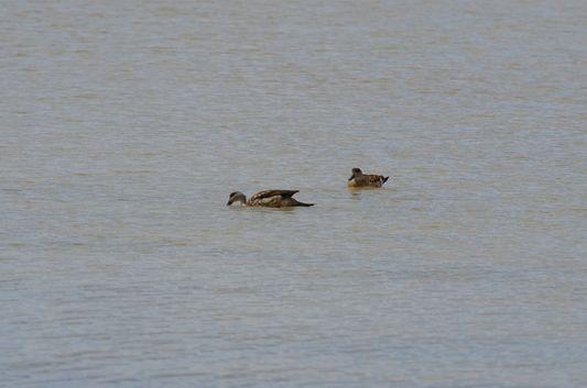 ducks at Kqara lagoon