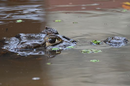 eyes and the head of a cayman in the water