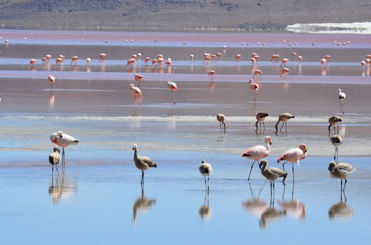 flamingos at Laguna Colorada