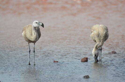 grey baby flamingos