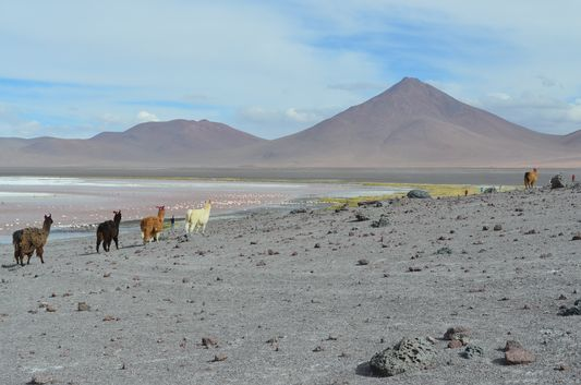 llamas running away at Laguna Colorada