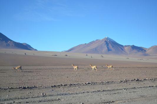 vicuñas at Desierto Dali