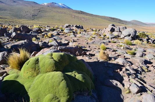 yareta plant in the Andes