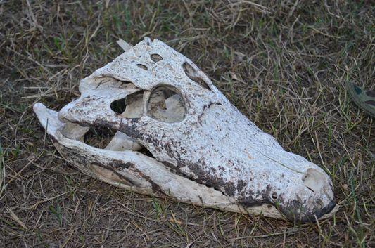 a caiman skull