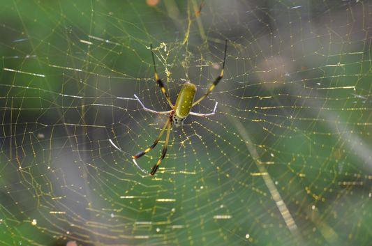 a gold spider