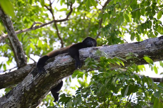 a howler monkey