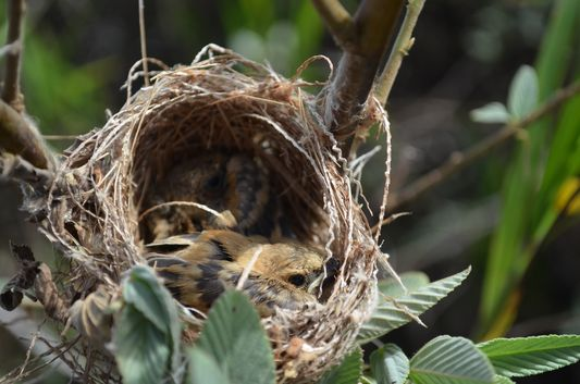 a nest with baby birds