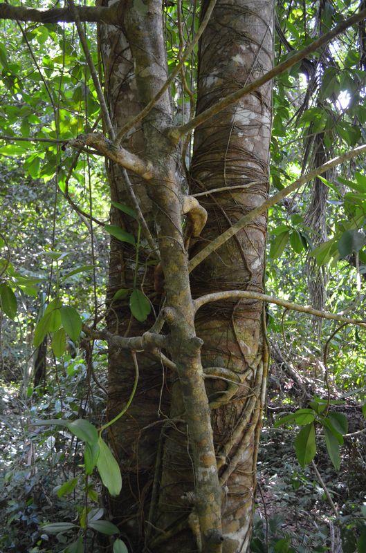 a parasite tree