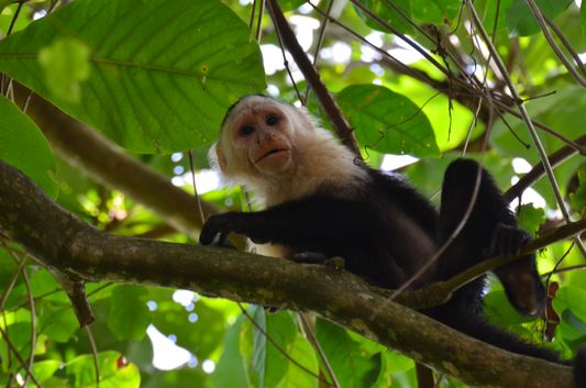 a white--faced monkey eating
