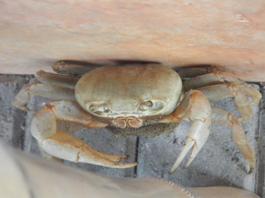 one of many crabs walking through Totem Hotel Beach Resort