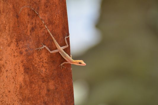 one of the lizards living in the tropical garden of Congo Bongo