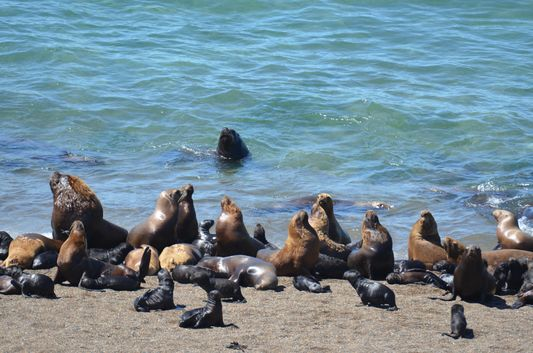 sea lions in Peninsula Valdes