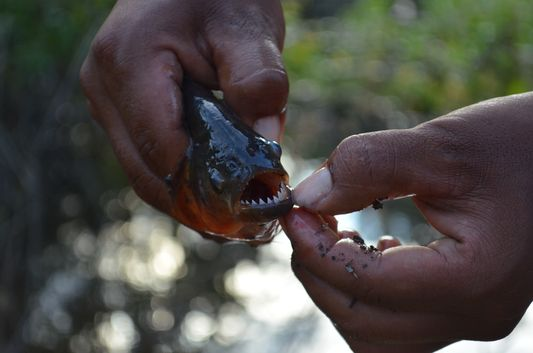 sharp piranha teeth