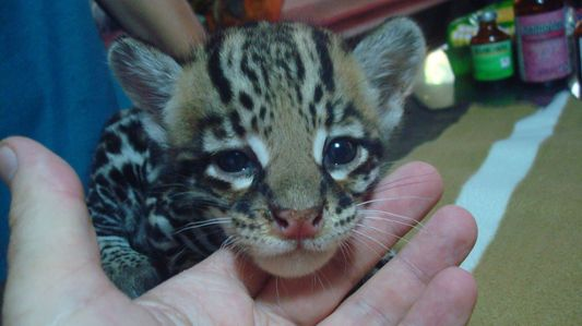 a baby wild cat in Jaguar Rescue Center