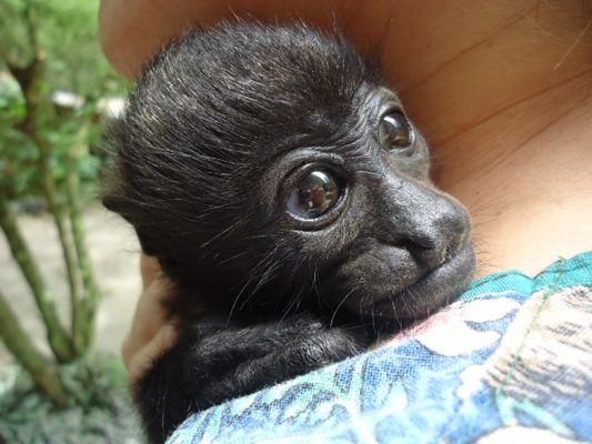 a little monkey in jaguar Rescue Center