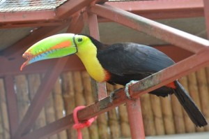 an injured toucan in Jaguar Rescue Center