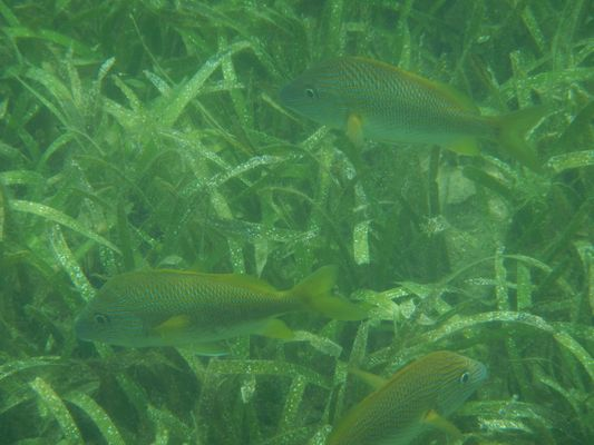 fish around the mangroves in the Mangrove reef
