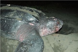 leatherback turtle in Costa Rica