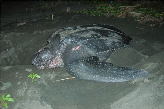 leatherback turtle nesting in Costa Rica