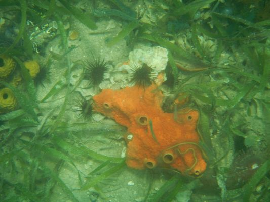 orange corals