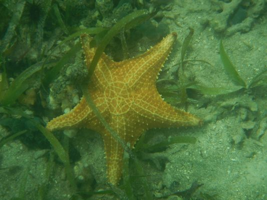the first starfish I saw while snorkeling