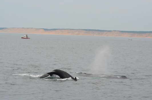 a humpback whale breathing in Cape Cod
