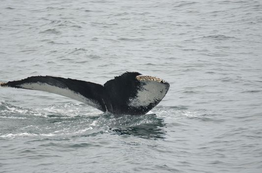 a humpback whale tail in Provincetown